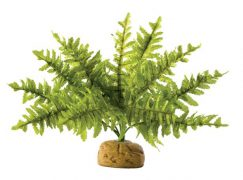 boston_fern_s