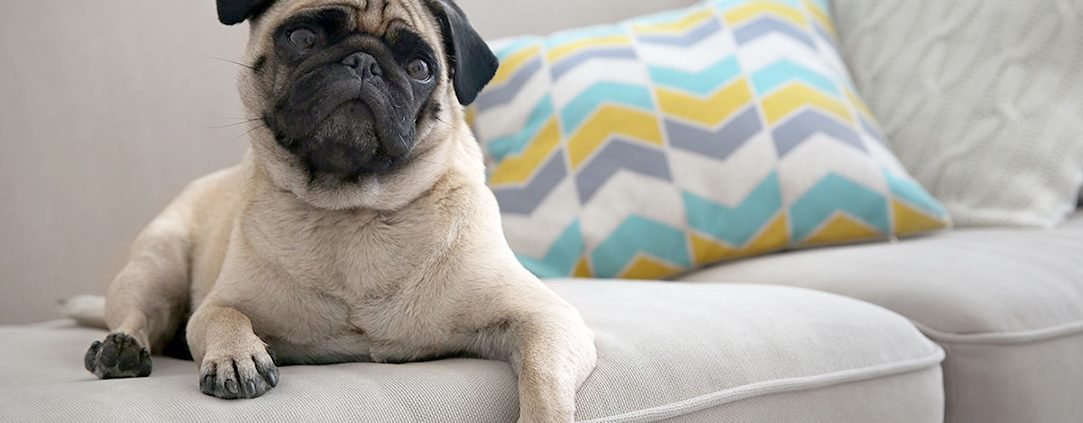 Pug dog on couch
